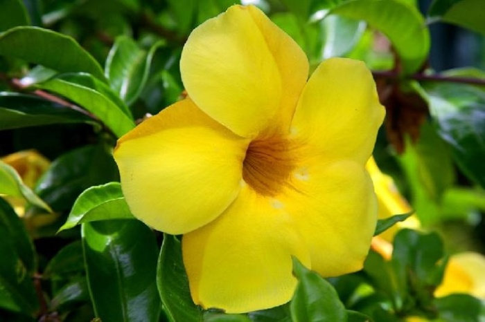 A Yellow Oleander