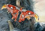 Sleeping Atlas Moth
